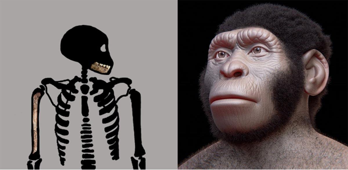 Homo naledi juvenile skeleton (Bolter et al. 2020) and reconstruction of a Homo naledi adult. (Cicero Moraes (Arc-Team) et al/CC BY 4.0)