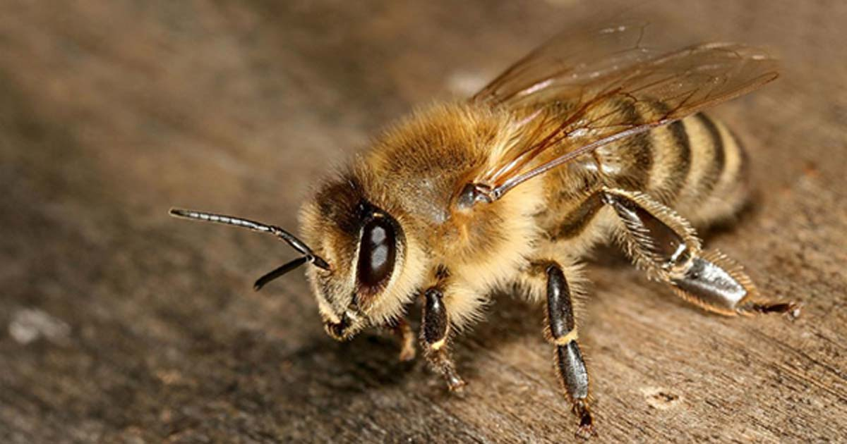 The Carniolan honey bee (Apis mellifera carnica) is a subspecies of Western honey bee.