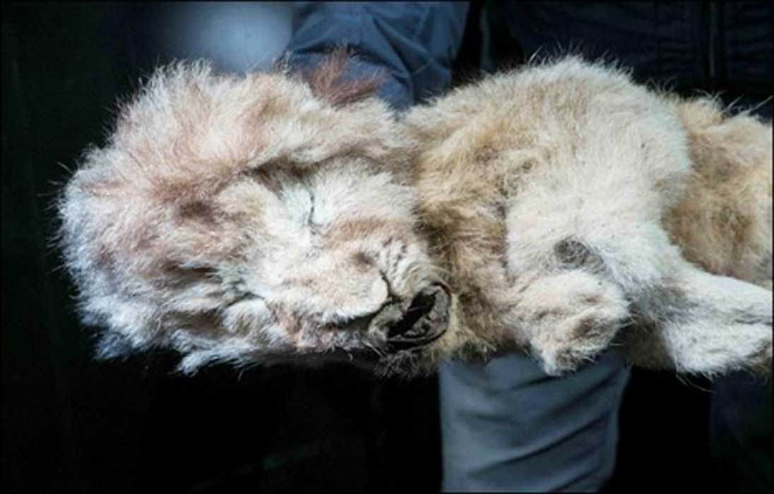 The cave lion cub now known as 'Sparta.' Source: Siberian Times