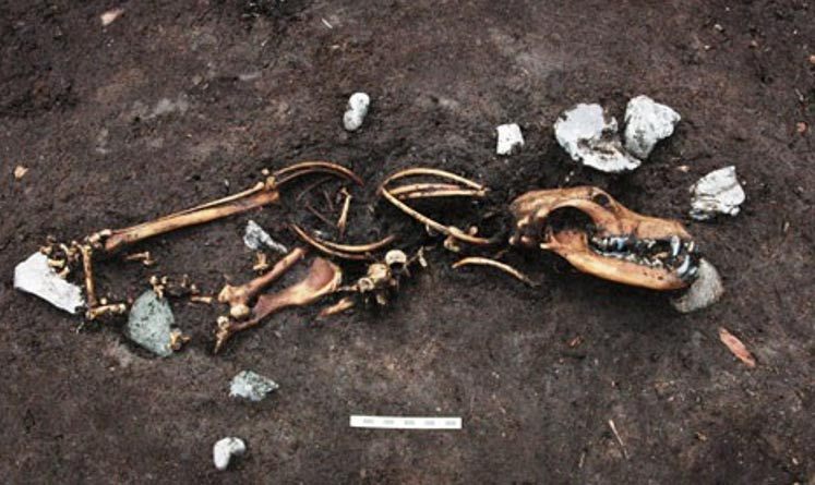 One of the eight dog skeletons were found next to three tethering stakes.