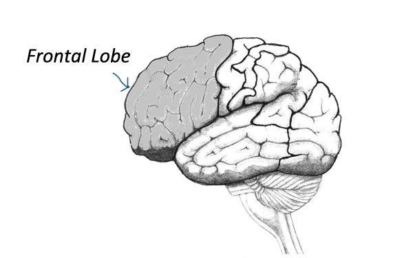 Frontal Lobe and Human Evolution