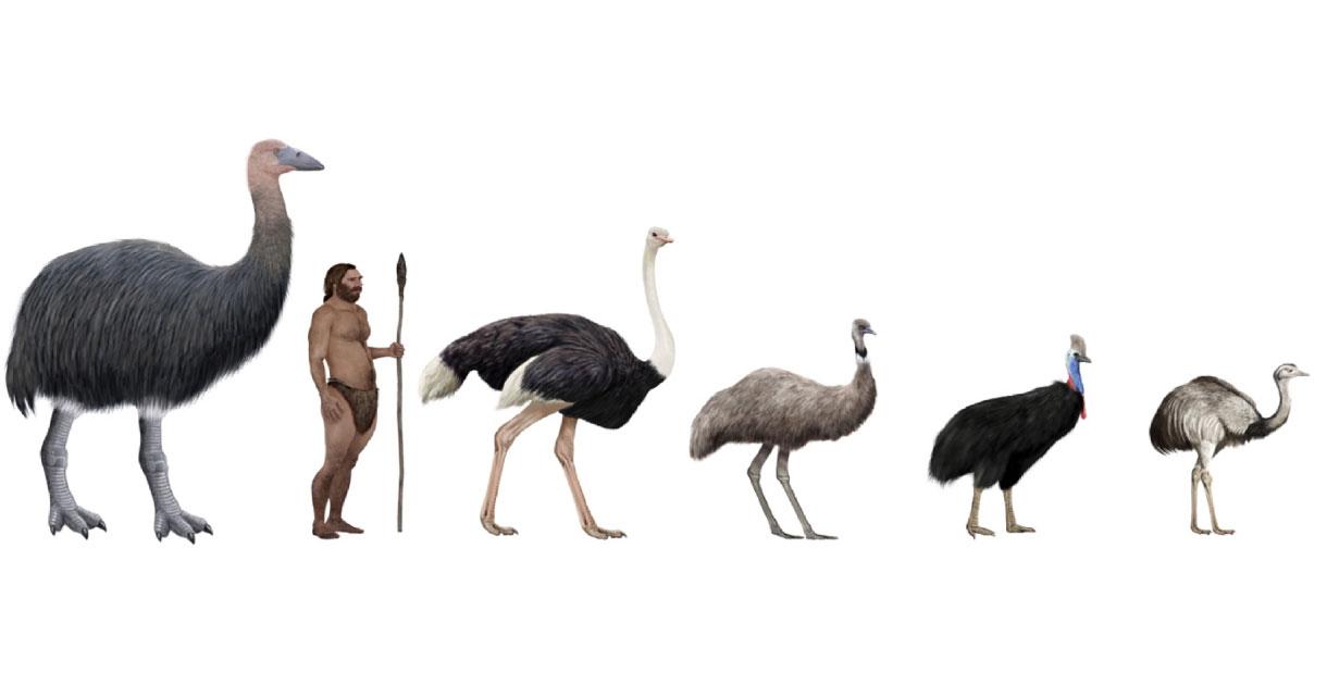 Pachystruthio dmanisensis, new species of giant bird has been discovered. Source: nicolasprimola / Adobe Stock.