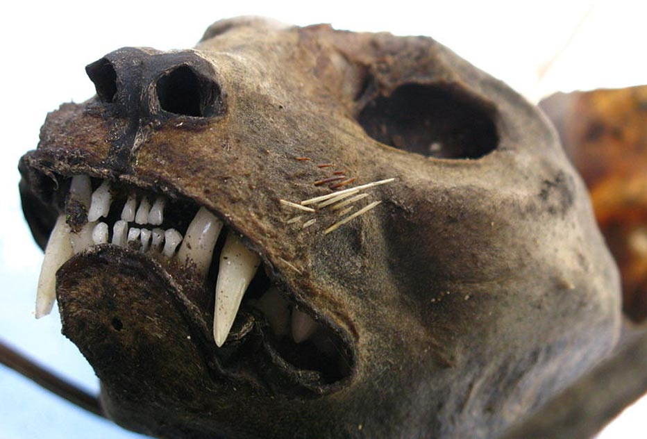 The head of a mummified cat