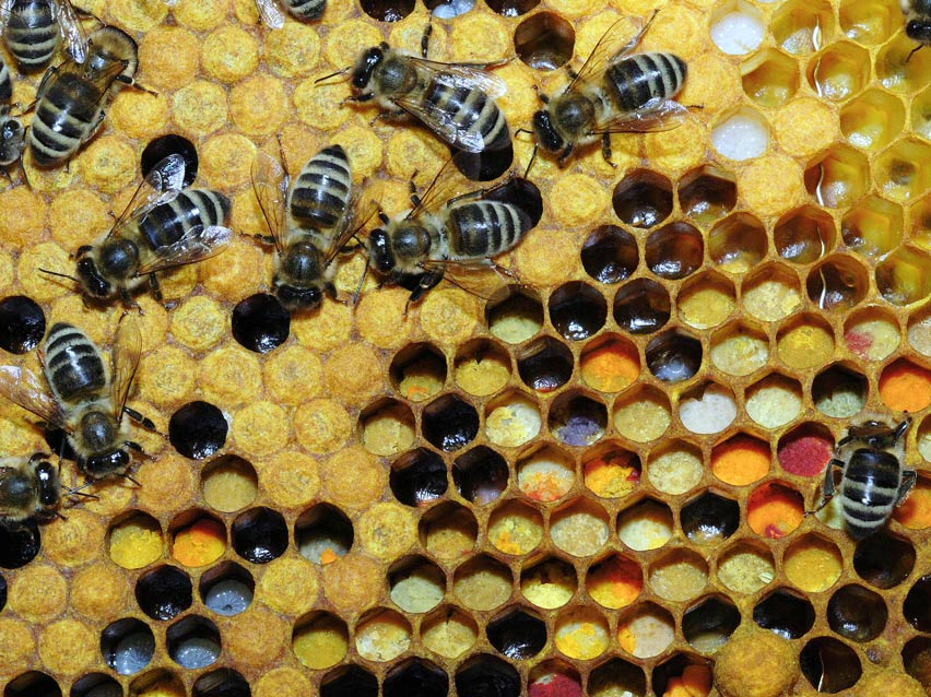Apis mellifera or honeybees working on the comb