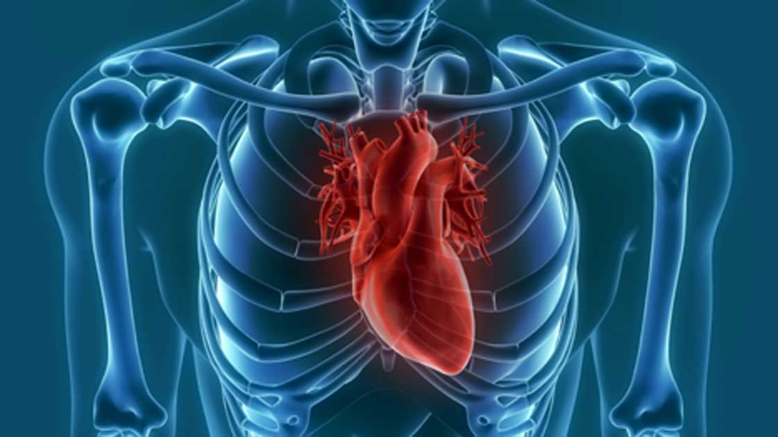 The human heart have evolved to be longer and thinner. Source: unlimit3d / Adobe Stock.