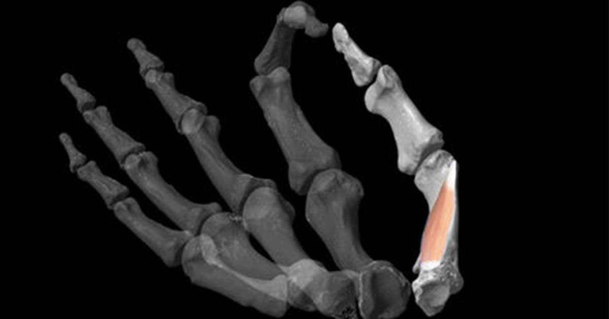 Researchers used 3D modeling software to reconstruct ancient hands and then added the critical human thumb muscle to the model.