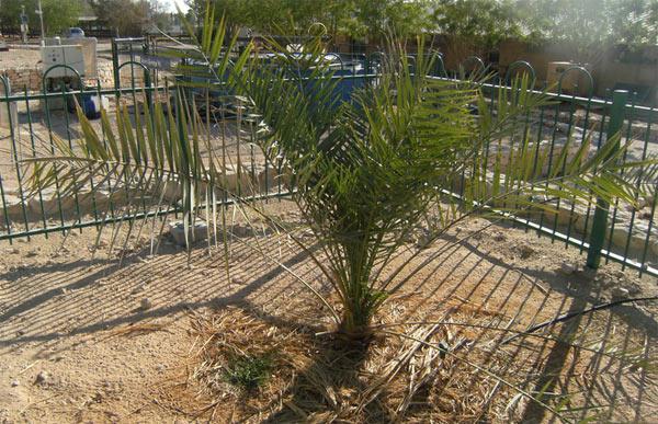 Ancient Tree Resurrected