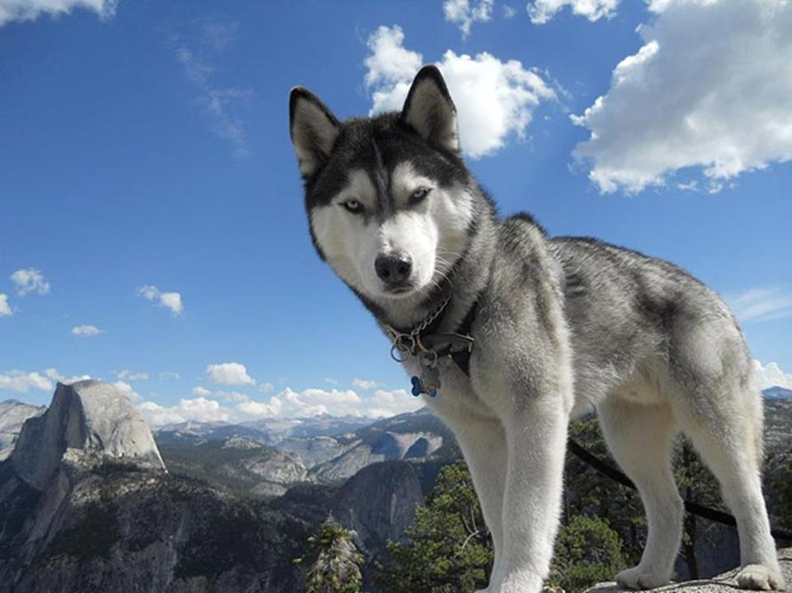 Representational image of a male Siberian Husky with Two Blue Eyes. Photo taken at Yosemite National Park, California, USA.