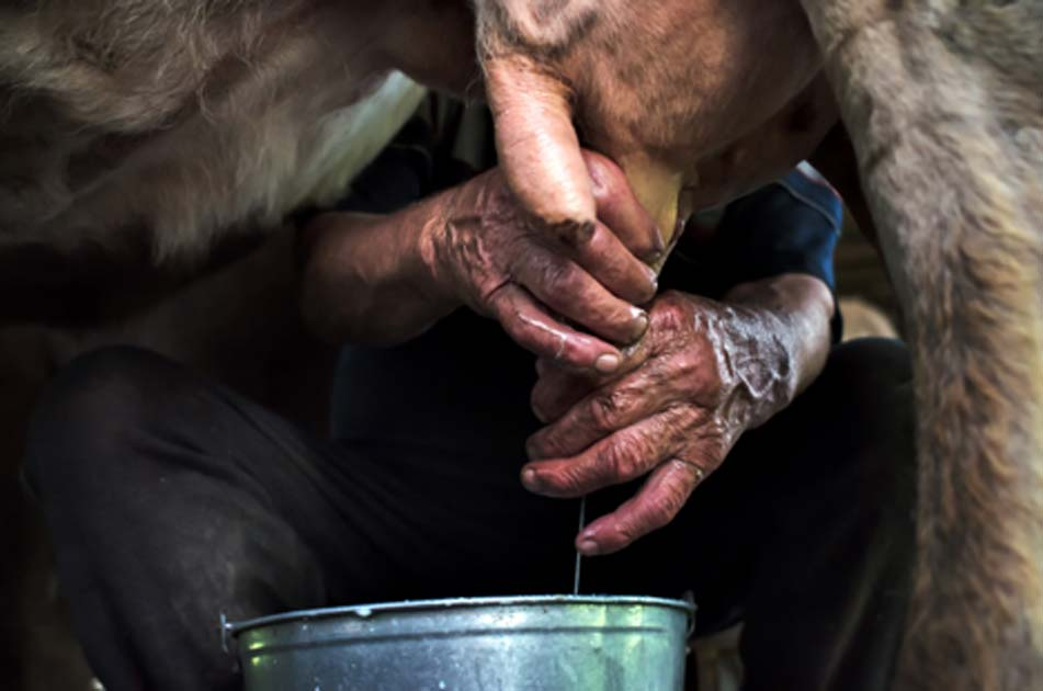 Milking a cow. Credit: stanislavss / Adobe Stock