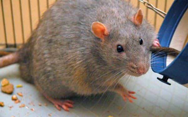 Easter Island's main diet: Rats