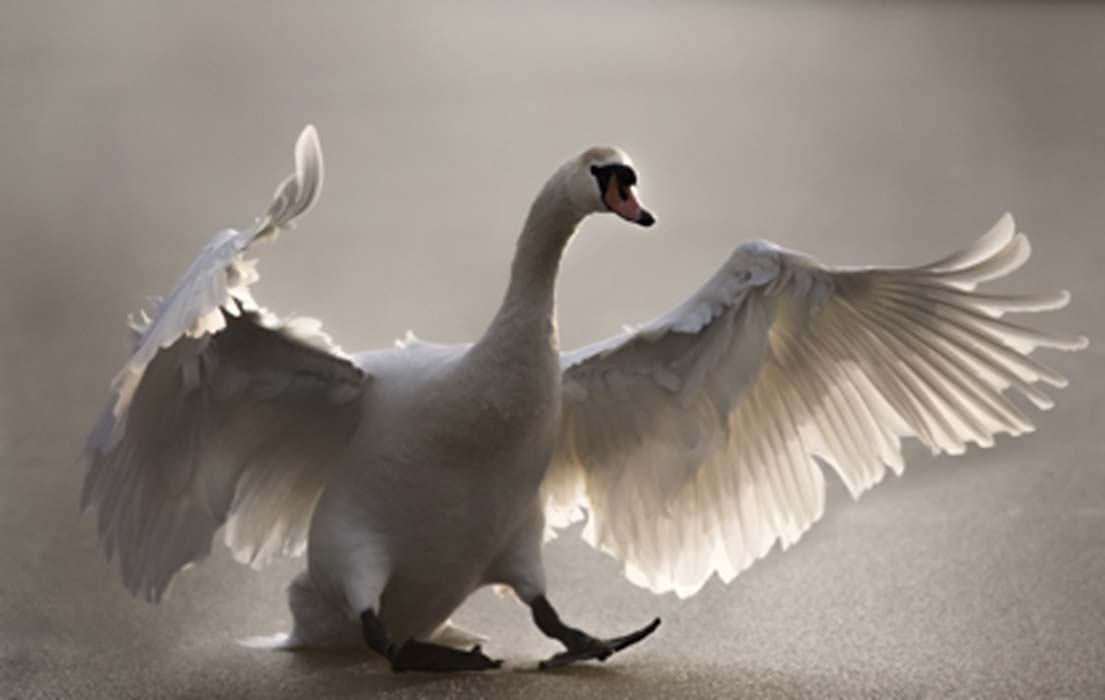 Swan shamanism could go back hundreds of thousands of years.       Source: abiwarner / Adobe Stock