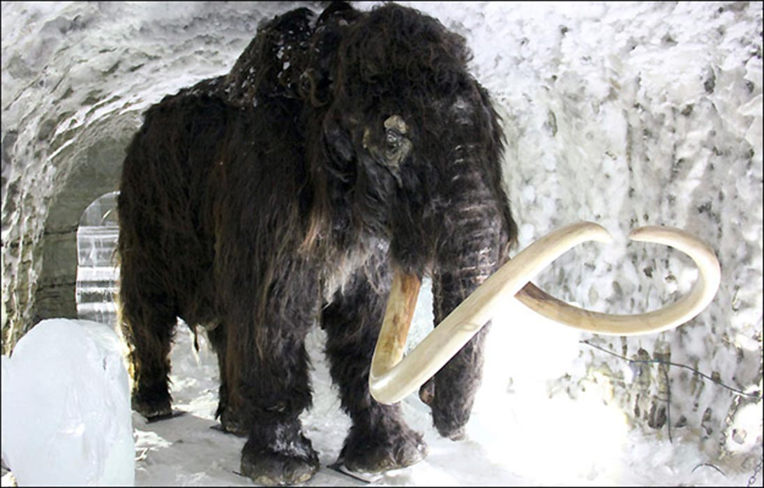 the history of the woolly mammoth The famous woolly mammoth was a single species  a population of woolly mammoths greatly reduced in size are  reconsideration of evolutionary history of.