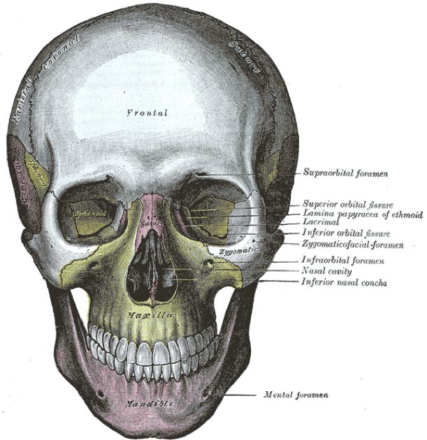 The human skull, with the mandible shown in purple at the bottom. (Pngbot / Public Domain)