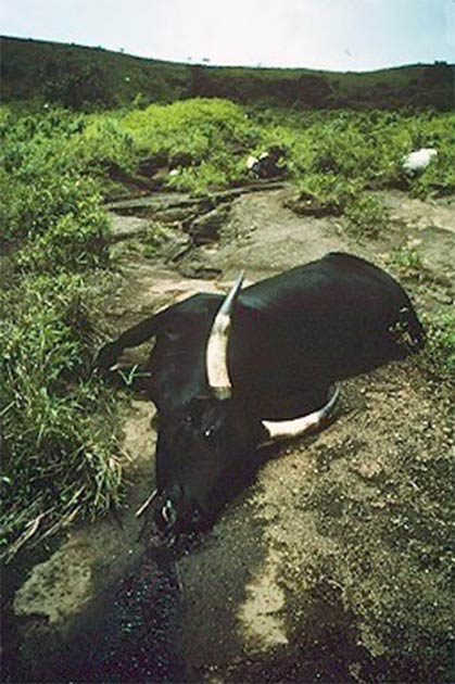 What caused the tragic events surrounding Lake Nyos? In the image, one of the suffocated cows that the authorities discovered the next day. (United States Geological Survey / Public Domain)