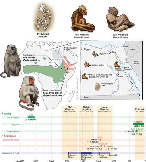 Egypt lies well beyond the distributions of P. anubis and P. hamadryas, and there is no evidence of natural populations in Egypt during antiquity. The remains of baboons in Egypt are therefore interpreted as evidence of foreign trade. (Dominy et al. 2020/ eLife)