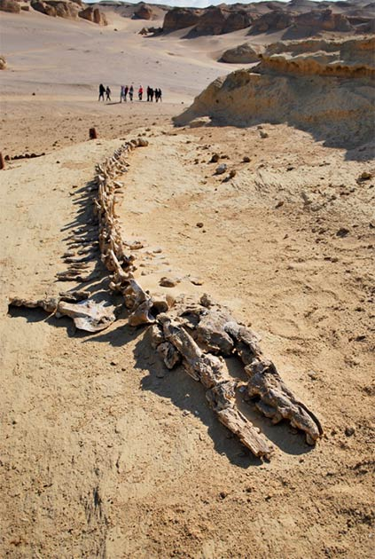 Many early-whale skeletons have been discovered in Egypt. In 2016, the first ever Basilosaurus complete skeleton was uncovered in Wadi El Hitan, preserved with the remains of its prey. No other place has such large numbers, concentrations or quality of fossils of this kind. On the left: Fossilized remains of Basilosaurus at Wadi El-Hitan. (Mohammed ali Moussa / CC BY-SA 3.0) On the right: A reconstruction of a Basilosaurus. (Dominik Hammelsbruch / CC BY-SA 4.0)