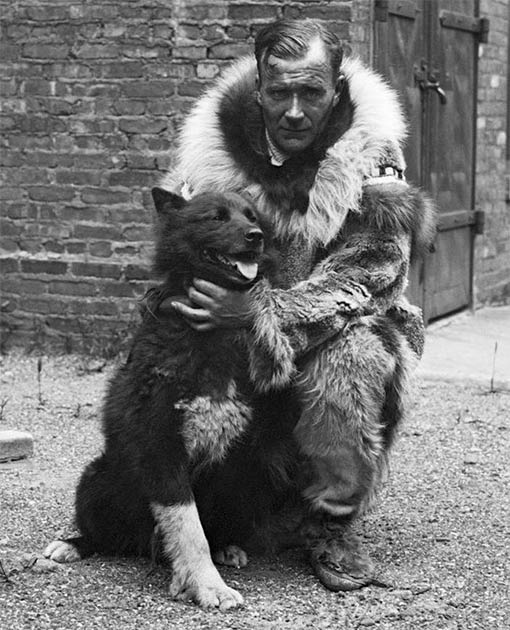 Balto became a famous dog after successfully delivering diphtheria antitoxin to Nome in Alaska in 1925. The lead dog for the final stretch of the expedition, he can be seen here with Gunnar Kaasen the musher of the last team. (Public domain)