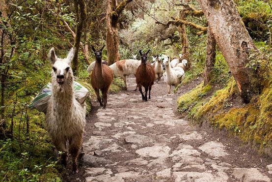 Inca trail with llama