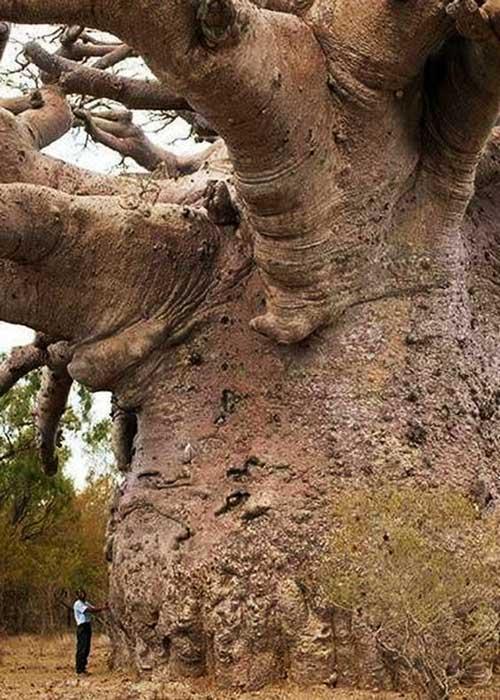 A man standing beside a baobab
