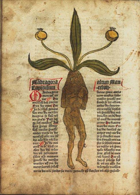 An image of a mandrake plant from a German text dating to 1485.