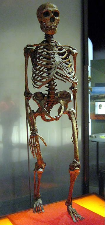 A mounted Neanderthal skeleton.