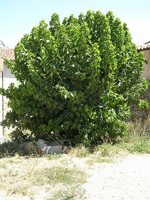 A mature mulberry tree in Provence.
