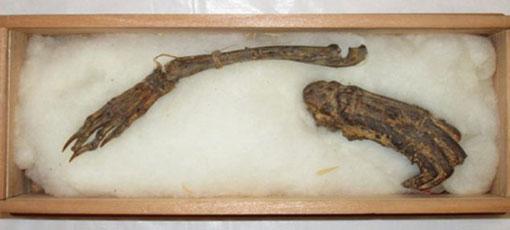 Mummified remains of the Kappa Mythological Creature