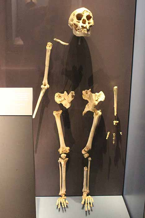 A reassembled skeleton (or most of it) of a Homo floresiensis individual. (Emőke Dénes / CC BY-SA 4.0)