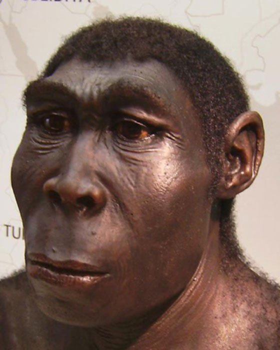 A reconstruction of a Homo erectus, exhibit at the Westfälisches Landesmuseum, Herne, Germany