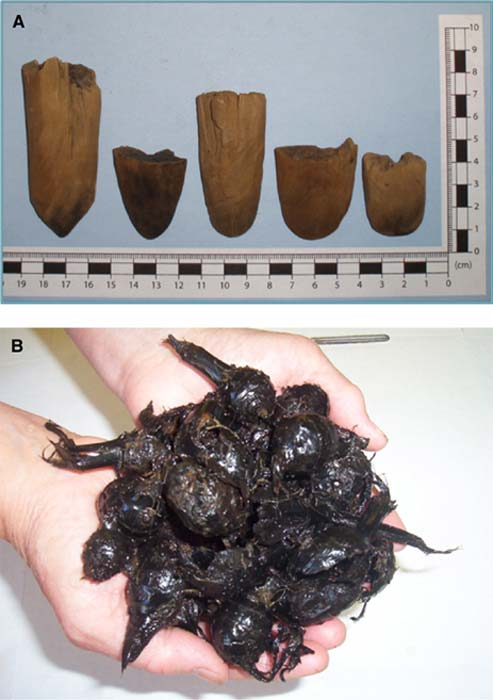 A: Sample of conserved wood digging stick tips. B: Ancient wapato tubers (preconservation) excavated from the wet-site garden area at the Pitt Polder wetlands.
