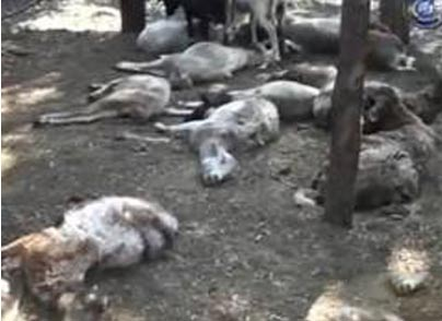 Eight sheep found dead, believed to have been attacked by the Chupacabra