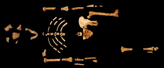 Ancient Humans and Optical Illusions:  The Challenge of Tracing Human Origins  Skeletal-remains-lucy-Australopithecus