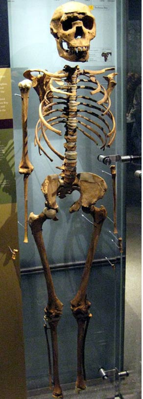 The skeletal remains of Turkana Boy