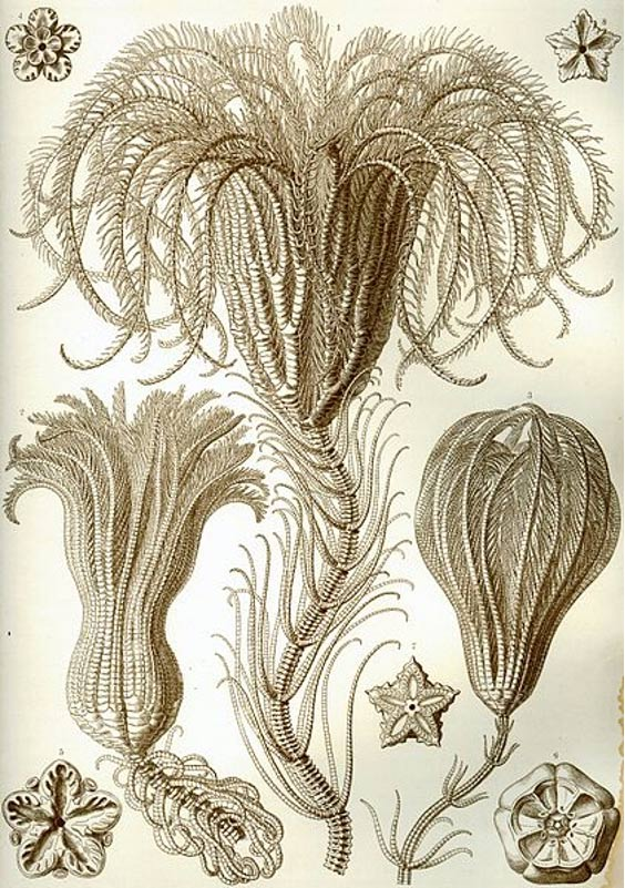 A stalked crinoid drawn by Ernst Haeckel.