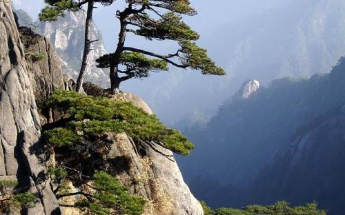 Pine trees on Huangshan mountain peak (CC BY-SA 3.0)