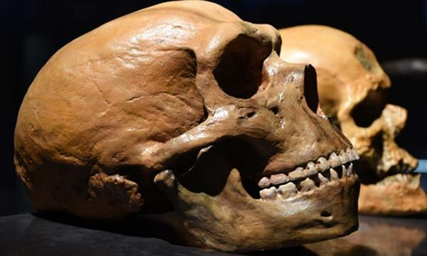 Neanderthal vs human skull.