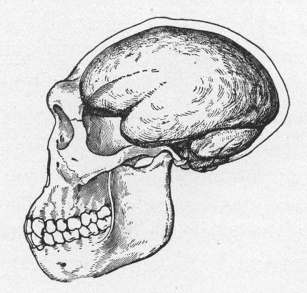1922 reconstruction of a Java Man skull. The Skull and brain-case of Pithecanthropus, the Java Ape-Man, as restored by J. H. McGregor from the scant remains. The restoration shows the low, retreating forehead and the prominent eyebrow ridges. (Public Domain)