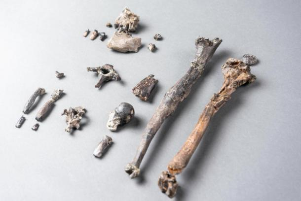 The 21 bones of the most complete partial skeleton of a male Danuvius. (Christoph Jäckle/ Nature)