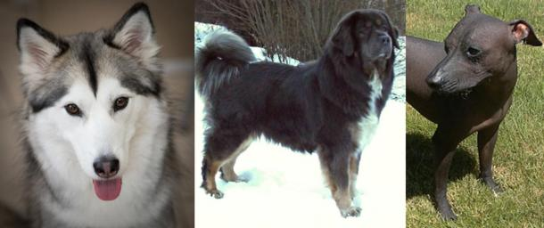 Three of the dog breeds that were chosen for the DNA study