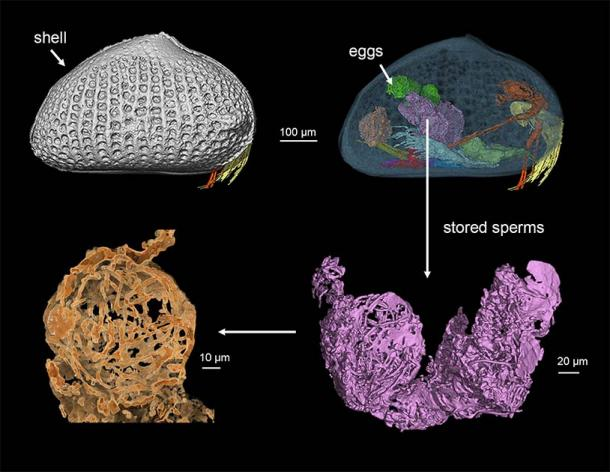 A 3D reconstruction of the female ostracod. (He Wang/Chinese Academy of Sciences)