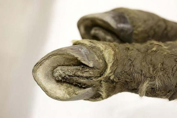 The 42,000-year-old foal. Pictures: North-Eastern Federal University