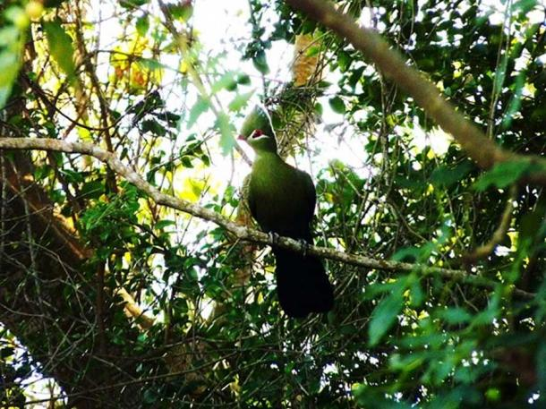 A Knysna Turaco (also known in South Africa as the Knysna Lourie) in Knysna, Western Cape Province, South Africa. (CC BY-SA 2.0)