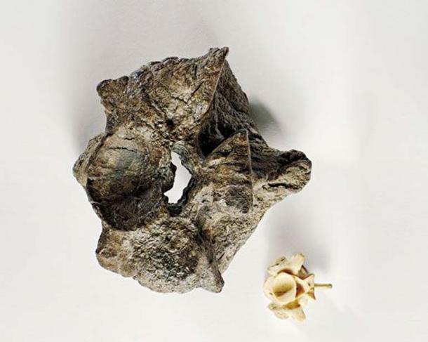 A Titanoboa vertebra dwarfs that of a modern 17-foot anaconda (Brian Tietz)