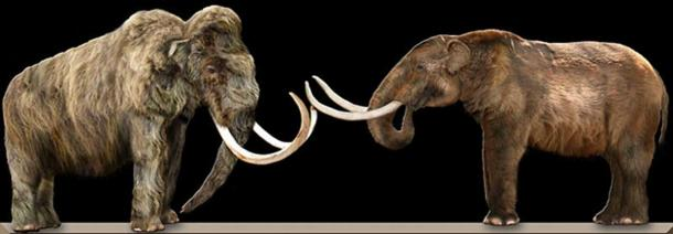 A Wooly mammoth (left) and an American mastodon (right) facing each other, showing the physical differences between the two animals.