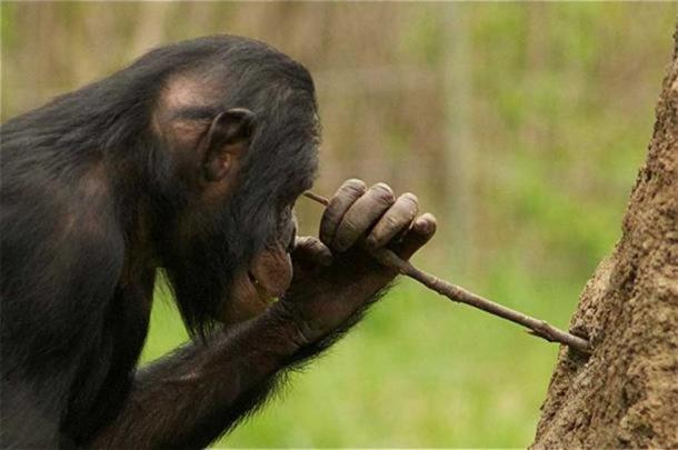 A chimp using a stick as a tool.