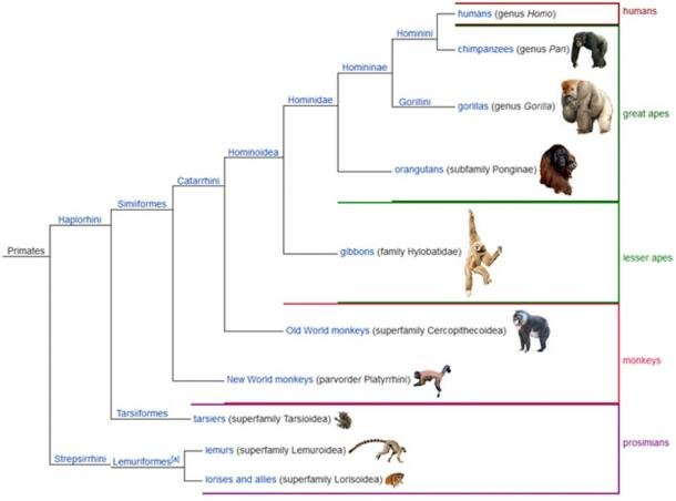 A cladogram showing one possible classification sequence of the living primates, with groups that use common (traditional) names shown on the right.
