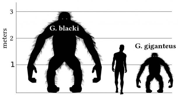 A comparison graph comparing the height of a 1.8-meter-tall human male with Gigantopithecus species. This graph is based on orangutan proportions in a bipedal stance. It is most likely that Gigantopithecus would have spent most of its time in a quadrupedal stance on all fours. (Discott/CC BY SA 3.0)