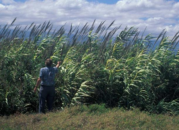 A giant reed.