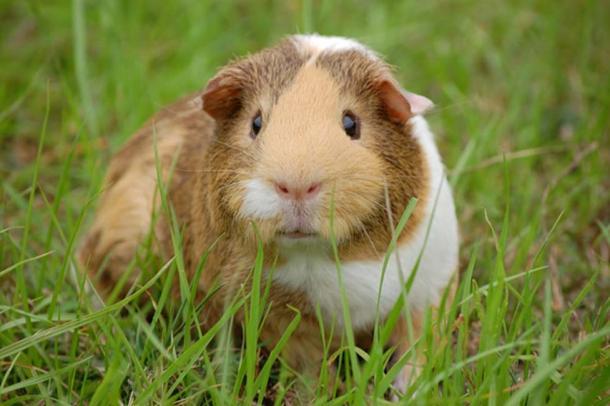 A guinea pig. (Public Domain)