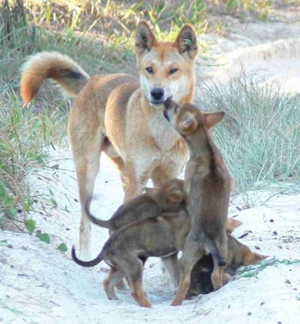 A male dingo with pups. (PartnerHund.com/CC BY 2.0)